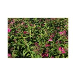 Small Of Anthony Waterer Spirea