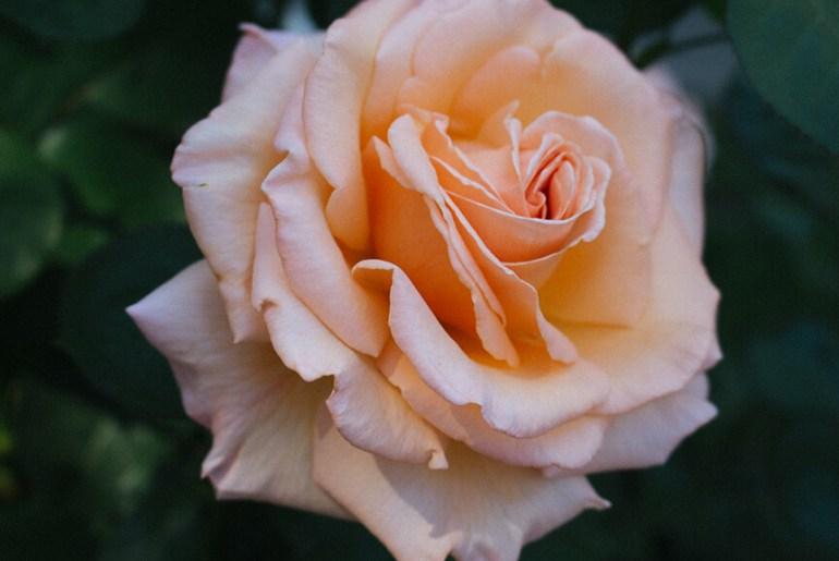 portland international rose test garden