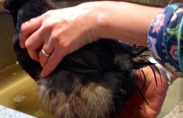 Tillys-Nest-dolly-silkie-bantam-bath