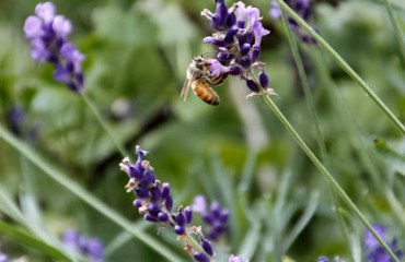 Tilly's Nest- honeybees on lavenderwp