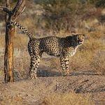 300px-Acinonyx_jubatus_-Southern_Namibia-8