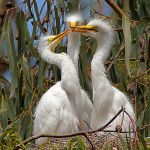 300px-Ardea_alba;_3_chicks,_Morro_Bay_Heron_Rookery_2_-_by_Mike_Baird