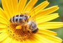 Drone pollinisateur : Les abeilles peuvent disparaître, on est couvert !