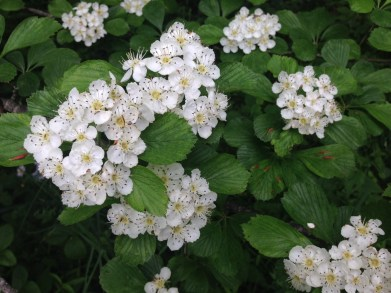 Hawthorn (Crataegus spp) in flower at Craggy Gardens on the Blue Ridge Parkway