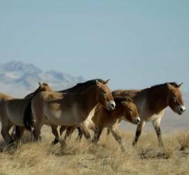 Wild horses roam the plains of Mongolia