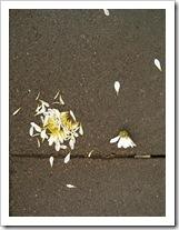 flor-rota.jpg
