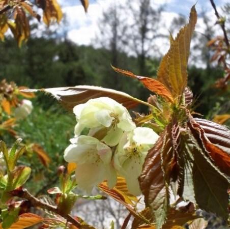 緑の桜 御衣黄 長野県小諸市 きのこの森