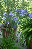 Agapanthus mit elf Blüten (Bildquelle: Henry)