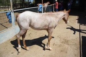 www.Cowboy4Sale.com, texas, horses, horse, for sale, country, stud, mare, breeding, bred, easy, jet, cash, dash, safe, longhorns, sorrel, buckskin, washington, kids, beginner, advanced, show, pleasure, trail, riding, cowboy, cowgirl, freckles, playboy, calf, show, prca, rope tie down, cutting, pepto, peppy, red roan, bay roan, blue roan, stud