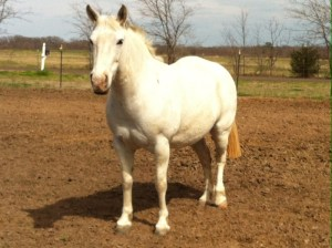 Frosty - 8 year old draft pony