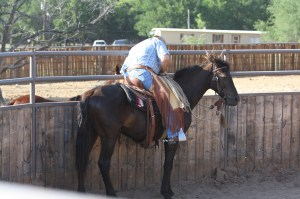 Tex - Morgan gelding  (11)