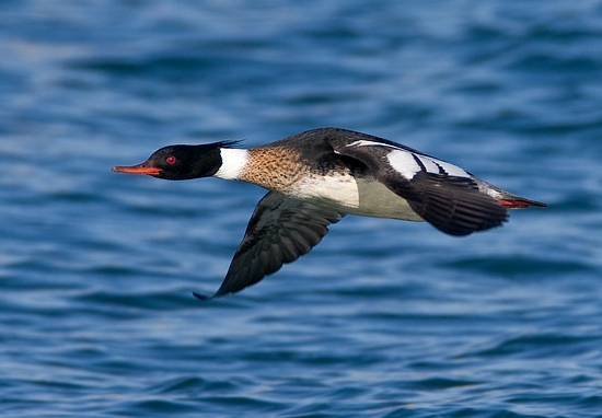 red_breasted_merganser_male_flying