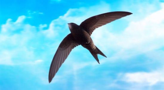 spinetailed swift