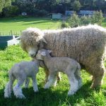 Romney Ewe and Lamb