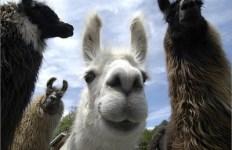 llama-origins