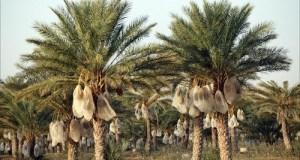 lulav-trees