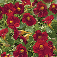 Nasturtium 'Crimson Emperor' - perfect for ground cover