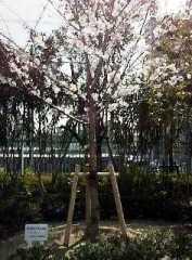 校内唯一?の桜の花(卒業記念樹です)