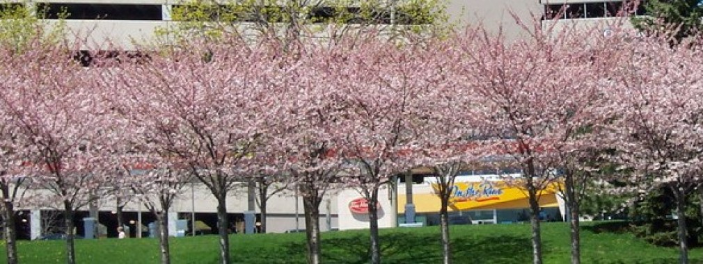 Cherry Trees at Spencer Smith Park