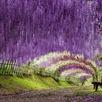 A Colorful Walk: Wisteria Tunnel at Kawachi Fuji Gardens, Japan