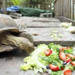 Tortoise Powers Down a Salad: VIDEO