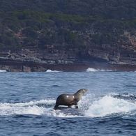 seal rides on a whale