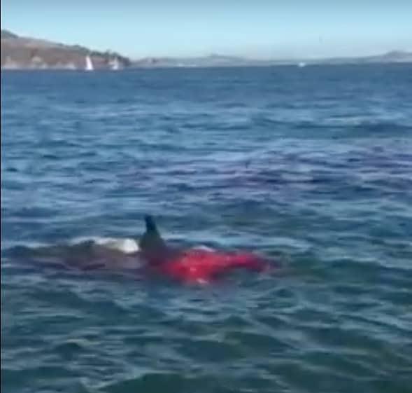 Alcatraz shark
