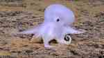 Ghost Octopus