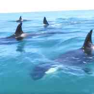 Jet Ski Rider Has Giddy Encounter with Orcas Off New Zealand: WATCH