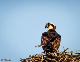 Male Osprey Guarding the Nest