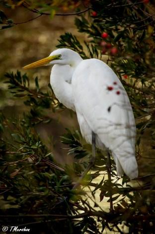 Christmas Egret