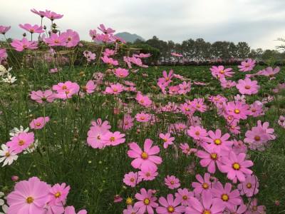 ทุ่งดอกคอสมอสขนาดใหญ่และสวยงาม มีให้ถ่ายภาพกันอย่างเพลิดเพลิน