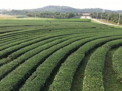 แปลงไร่ชาขนาดใหญ่ที่สร้างงานให้กับคนงานเก็บใบชา
