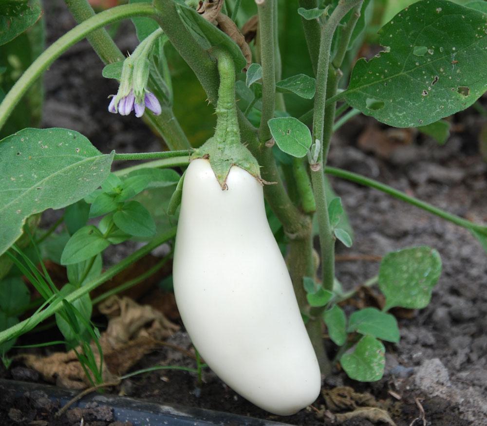 Fullsize Of Black Beauty Eggplant