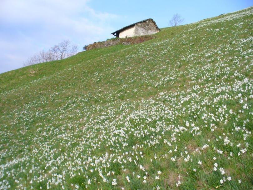 Un prato fiorito di narcisi (Baita Vercellane m s.l.m. 1393)