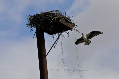 Osprey Flying to nest SWF WM