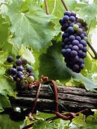 great grapes reduced