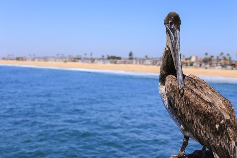 This noble pelican struts along the pier at Newport Beach, waiting for fishermen to throw him a fish. And if they don't, he steals one anyway.