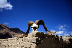 The Marco Polo sheep is an icon of Badakhshan and its skull sits everywhere like a talisman.