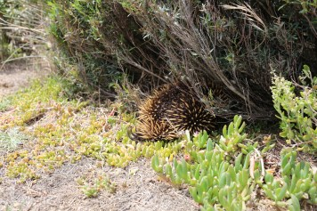 A shy echidna burrows into the undergrowth