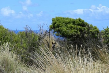The closest I made it to a wallaby on deserted Cape Woollamai