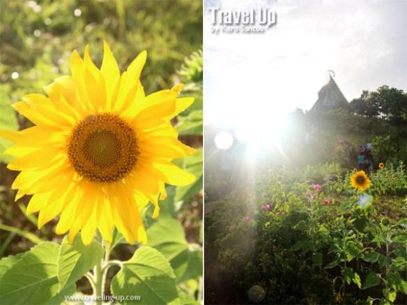 regina rica tanay rizal sunflower trail