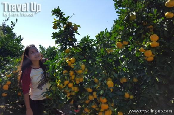japan gamagori orange park orange-picking