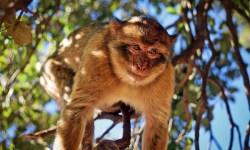 Barbary Apes in Cedar Forest in Azrou, Morocco