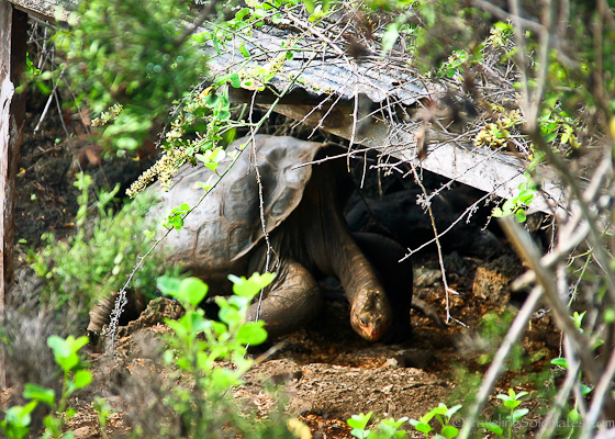 Giant turtle in Charles Darwin Research Center in Galapagos islands