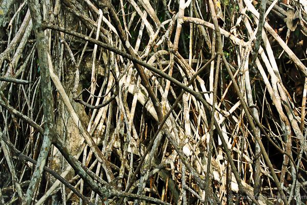 Mangrove root in Galapagos islands