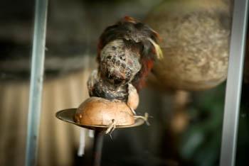 Shrunken head in Intinan Solar Museum, Ecuador