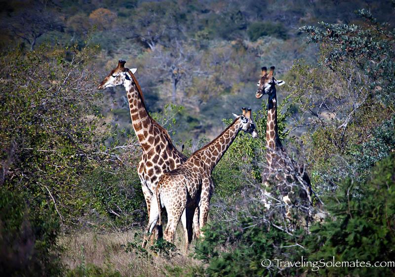 Giraffes, Kruger National Park, South Africa