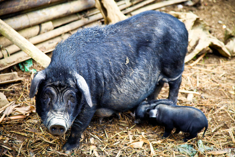 Pig and piglets - Trekking in the Hillribe Villages around Bac Ha, Vietnam