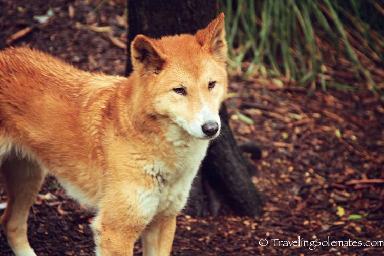 A Dingo in Healesville Sanctuary, Yarra Valley, Victoria, Australia
